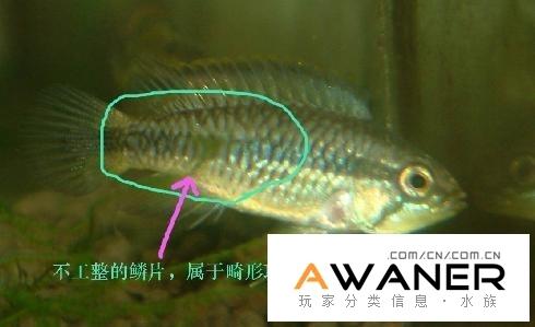 怎樣分辨退化畸形短鯛