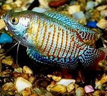 麗麗魚的雌雄辨別