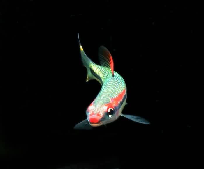 新鱼入缸前如何给鱼消毒?