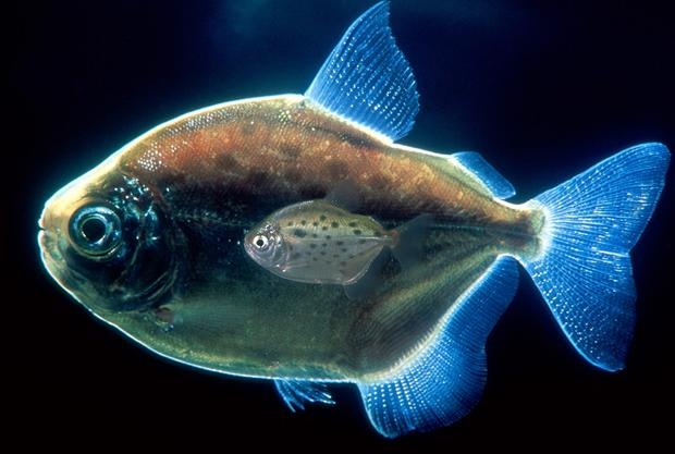 觀賞魚新的餵食方法--餵奶