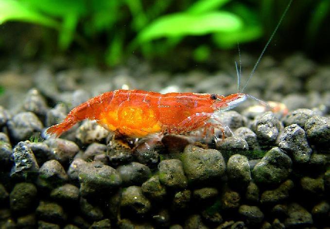 櫻花蝦飼養的一些常識