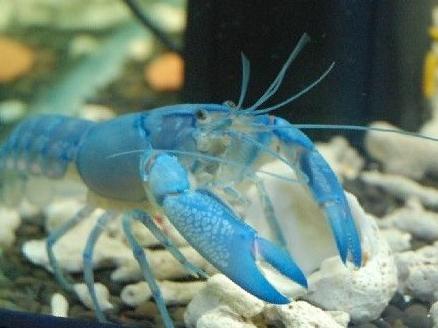 天空藍魔蝦飼養經驗總結