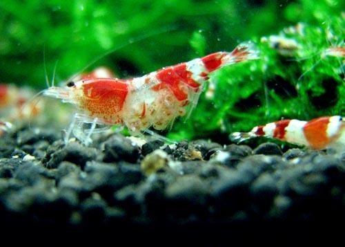 水晶虾繁殖之脱卵