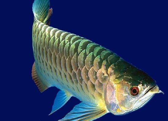 解决龙鱼不爱吃食、偏食的方法