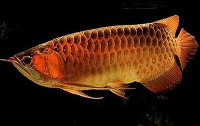 龍魚成魚性別觀察及繁殖關鍵