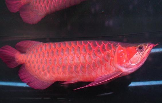 紅龍魚飼養之發色條件及方法