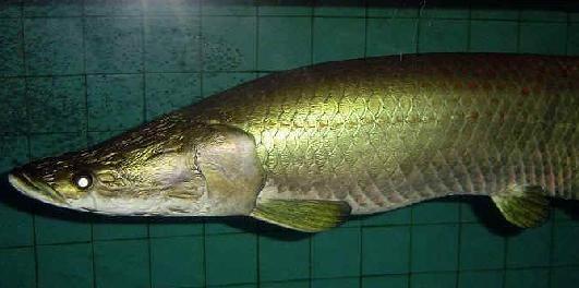 從龍魚鱗片的生長來看發色