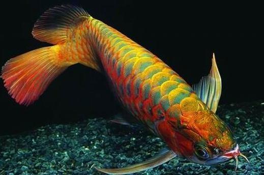谈论龙鱼食物和龙鱼挑食的原因