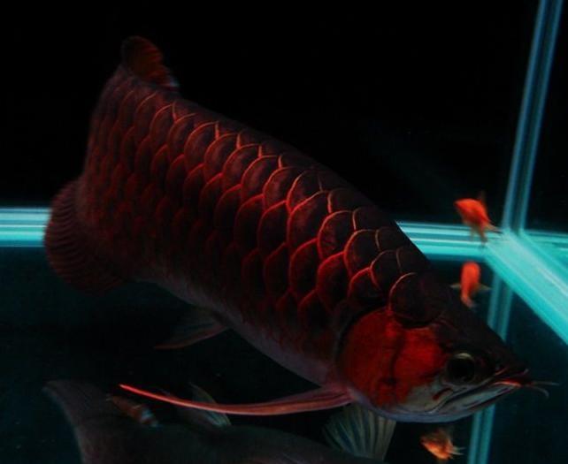 紅龍魚發色所需要的條件