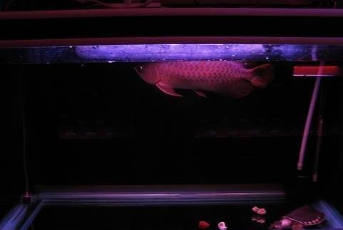龍魚與燈光的關係及影響