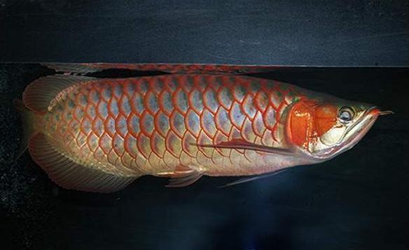 如何營造出適合龍魚生活的水質?