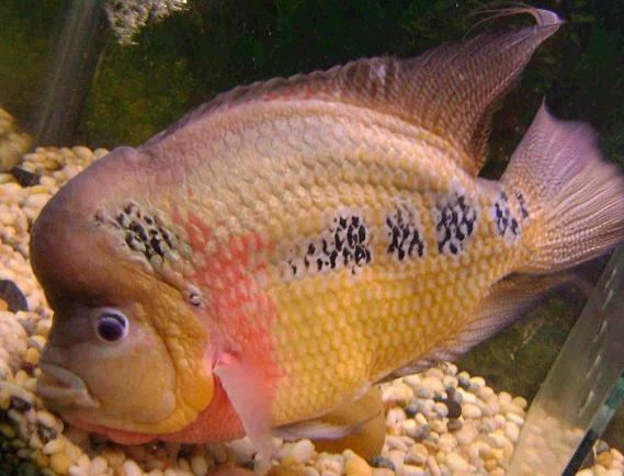秋季購買挑選羅漢魚的注意事項