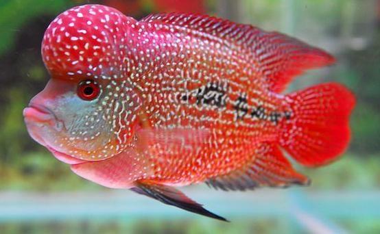 羅漢魚起頭的方法之正確餵養
