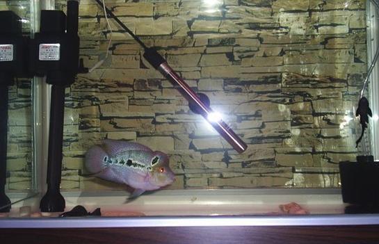 珍珠羅漢魚墜尾的討論