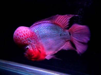 羅漢魚顏色及色彩方面心得體會