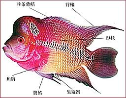 如何分辨羅漢魚雌雄?