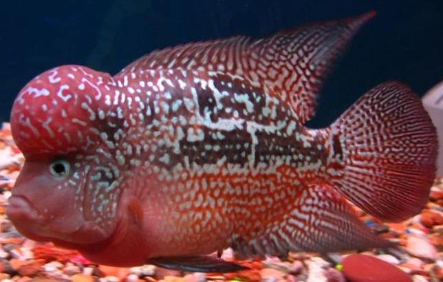 羅漢魚的飼料及需要的營養