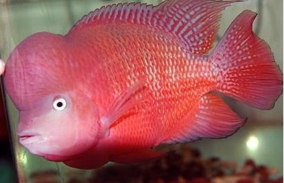 红马骝罗汉鱼的挑选和饲养方法