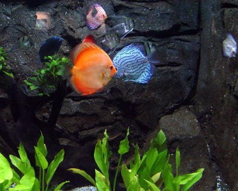 喂七彩神仙魚吃干食的方法