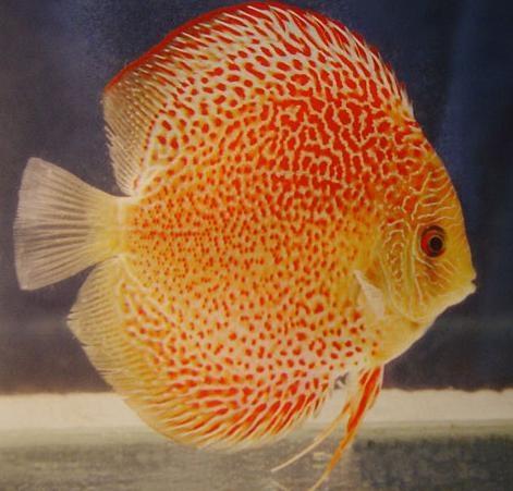 七彩神仙魚的飼養難易度對比